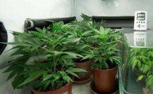 Marijuana legalization hits Michigan, municipalities wait to opt in