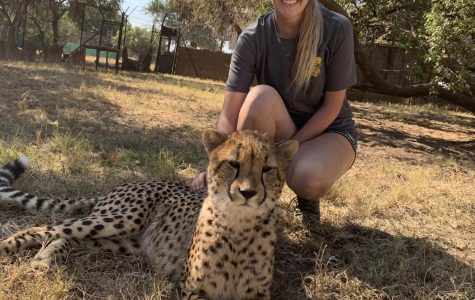 Grand Valley student works with cheetahs